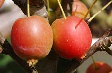 ヒメリンゴの赤